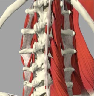 Observe como são complexas as estruturas ligamentares e ósseas da coluna cervical. Tudo isso é muito importante para a estabilidade e proteção da medula espinal